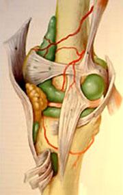 Le genou est composé de 4 ligaments principaux (vue interne)