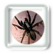 Morsure d'araignée