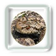 La Morsure de Serpent