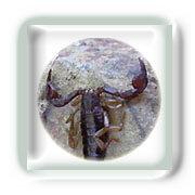 La Piqûre de Scorpion
