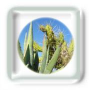 Les cactus et Euphorbes