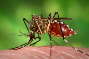 Le moustique Aedes aegypti
