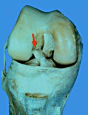 LCA et LCP : rappel anatomique