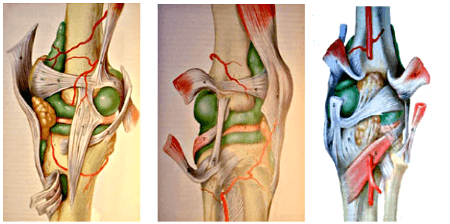 Ligaments crois ant rieur et crois post rieur lca lcp for Douleur genou interieur
