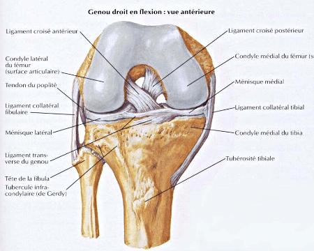 Genou droit en flexion : vue antérieure