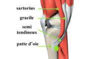 Tendons du genou : la patte d'oie
