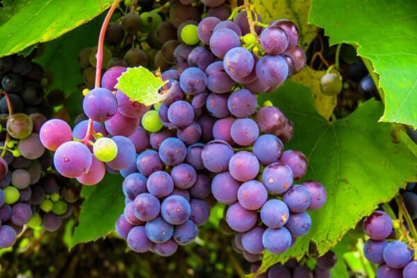 Uvas, sus beneficios para la salud