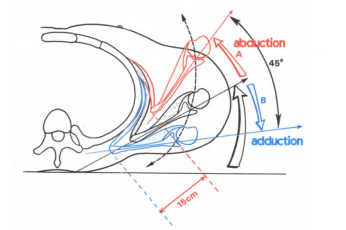 Tendinites de l'épaule : coiffe des rotateurs, long biceps, PSH