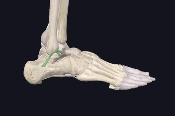 Faisceaux antérieur (LTFA) et moyen (LCF) du ligament collatéral latéral